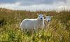 Sheep near Corlic, Inverclyde - 24 September 2020