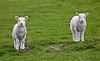 Lambs at Greenock - 3 May 2019