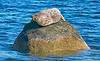 Seal Basking on Rock at Lunderston Bay - 18 July 2017