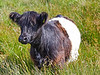 Belted Galloway Cow at Cornalees - 25 July 2018