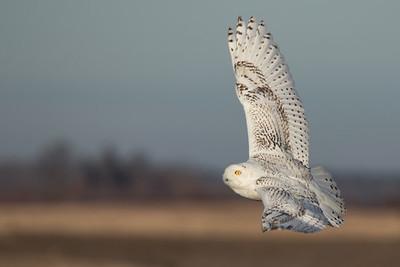 Snowy Owl, Too