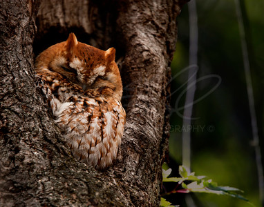 Sleep Owl