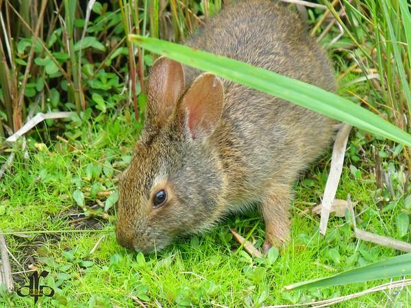 Bunny in the marsh