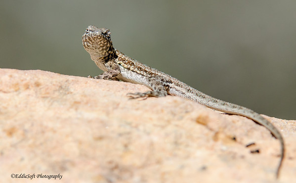 Various Lizards from Nevada - August 2013