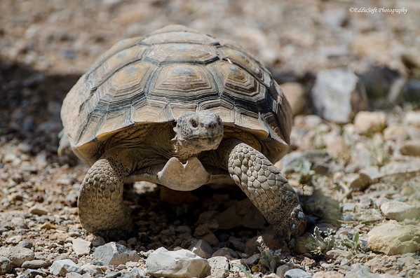 Tortoise in Red Rock Canyon - Nevada August 2013