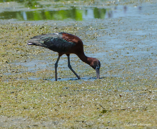 Glossy Ibis found at Harris Neck National Wildlife Refuge outside Savannah Georgia May 2015