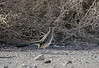 Greater Roadrunner shot at Henderson Wildlife Viewing Preserve - Henderson NV 11/2012