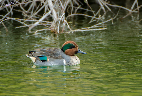 Green-Winged Teal shot at Henderson Wildlife Viewing Preserve - Henderson NV 11/2012