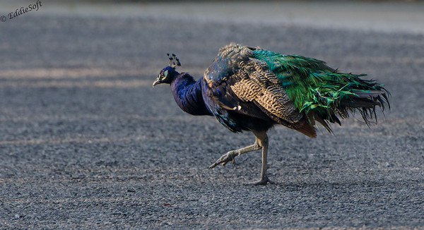Peacock shot on Texas trip in Nov 2013