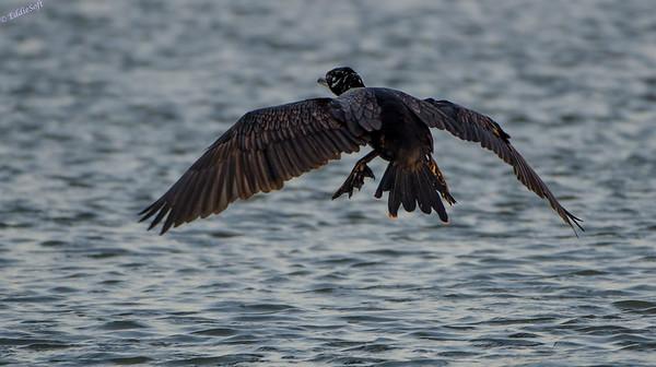 Cormorants shot on Texas trip in Nov 2013