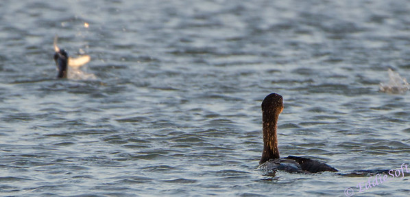 Cormorants shot on Texas trip in Nov 2013