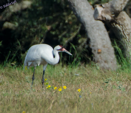 Whooping Crane from Texas Trip Nov 2013
