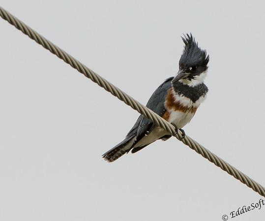 Kingfisher shot on Texas trip Nov 2013