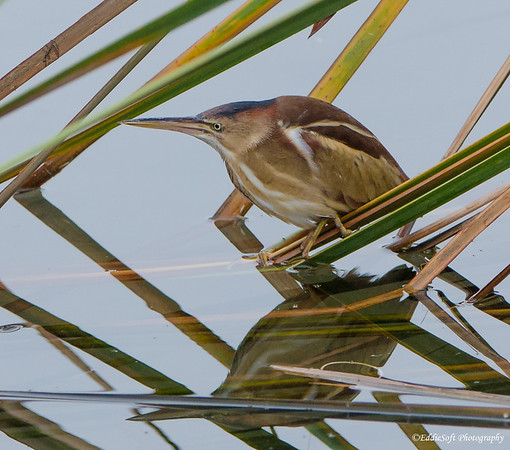 Least Bittern discovered at South Padre Island Bird Viewing and Nature Center in December 2016