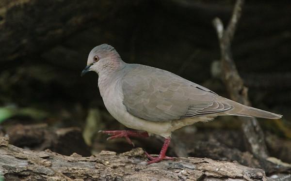 White-Tipped Dove found at Laguna Atascosa National Wildlife Refuge, Texas in January 2017