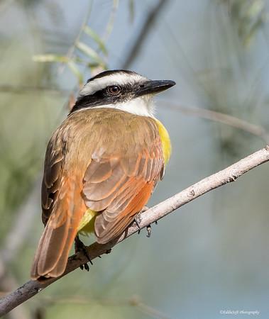 Great Kiskadee found at Bentsen-Rio Grande State Park in December 2017