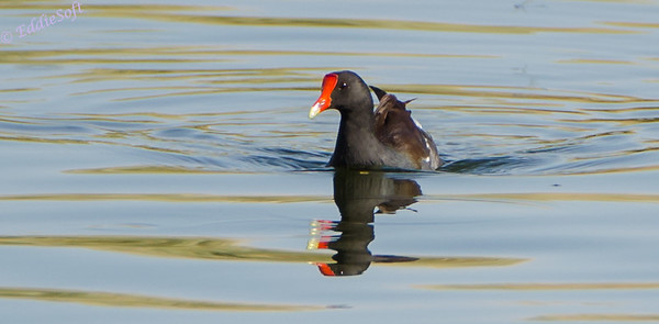 Common Gallinule shot in Henderson, Las Vegas in August 2013