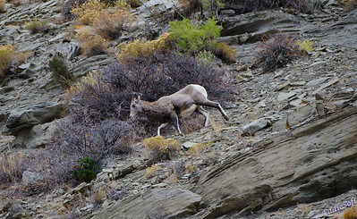 Bighorn Sheep photographed at Yellowstone National Park - October 2011