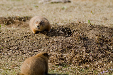 A Prairie Dog confrontation photographed at Custer State Park while on our Yellowstone National Park Vacation in October 2011
