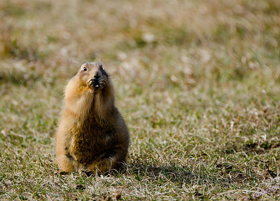 """Is that The Beast pointing out of that vehicle?""  A concerned Prairie Dog photographed at Custer State Park while on our Yellowstone National Park Vacation in October 2011"