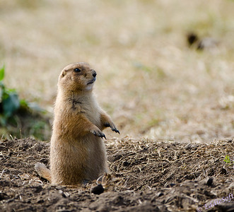 A Prairie Dog acting out Zombieland - photographed at Custer State Park while on our Yellowstone National Park Vacation in October 2011