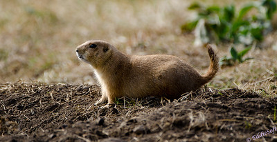Prairie Dogs photographed at Custer State Park while on our Yellowstone National Park Vacation in October 2011