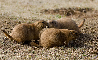 A Prairie Dog nuzzle photographed at Custer State Park while on our Yellowstone National Park Vacation in October 2011