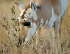 Pronghorn photographed at Yellowstone National Park - October 2011