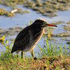 IMG_7294-1GreenHeron052812