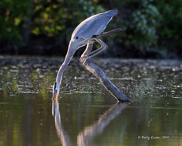 Great Blue Feeding BSR_2510