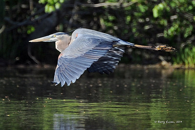 Great Blue Heron BRZ_0380
