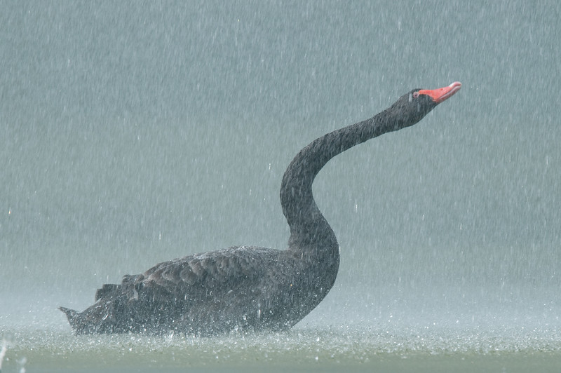 Black swan having a shower
