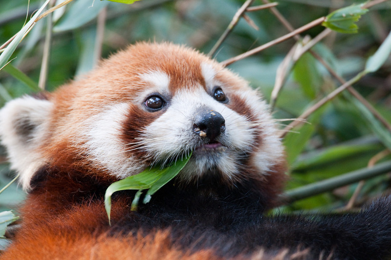 Red panda chewing bamboo