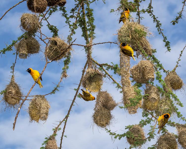 Weaver Tree