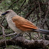 White-Crowned Coucal
