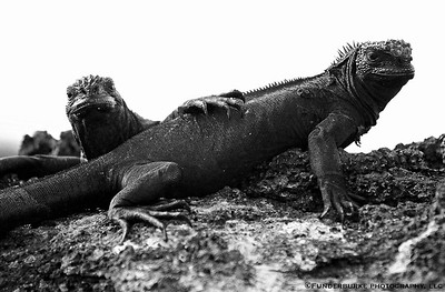 Iguana Amigos