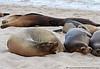 Sea Lion Rivalry