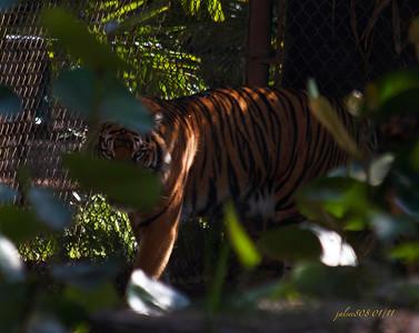 Tiger012211