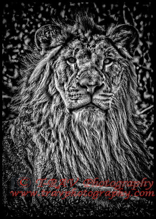Lion_BW_Closeup_9329