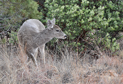 Coues Whitetail Doe