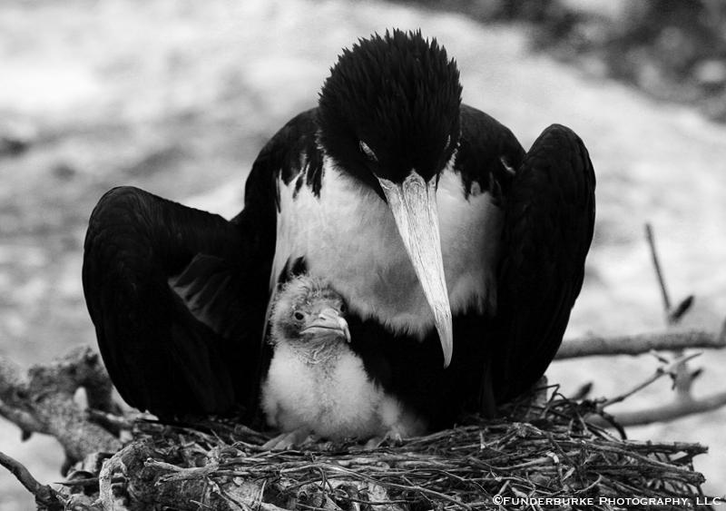 Frigatebird and Chick, Galapagos Islands