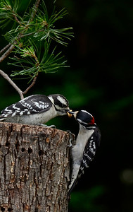 """Lunchtime"" Downy Woodpeckers"
