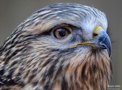 """Aleta"" - Rough-legged Hawk The Carolina Raptor Center ~ Huntersville, NC"