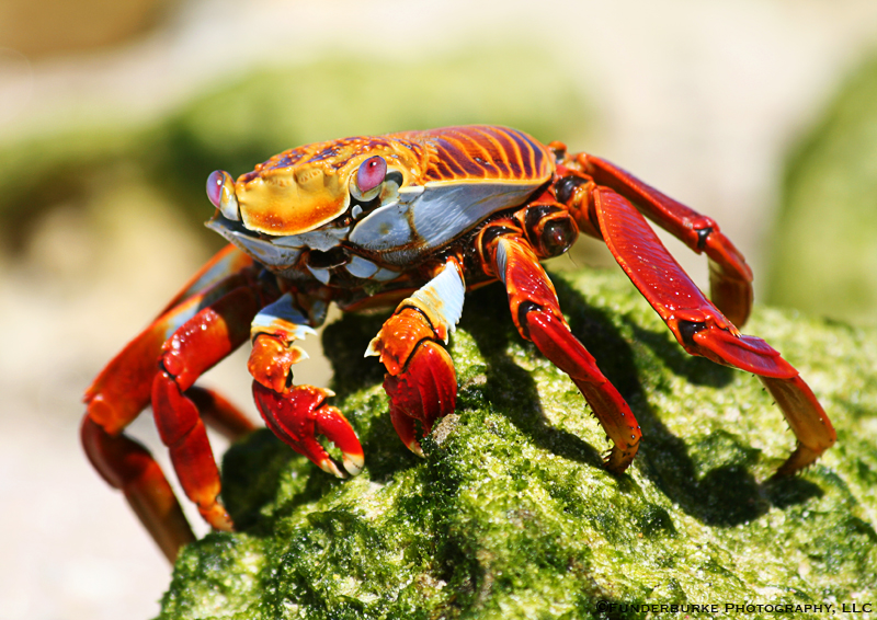 Sally-lightfoot Crab, Galapagos Islands