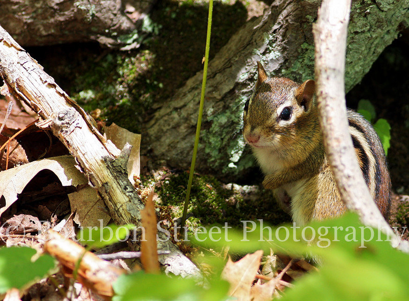 Chipmunk at Pond Meadow park