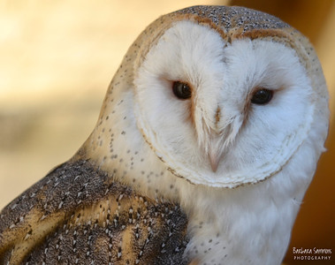 """Surrey"" - British Barn Owl The Carolina Raptor Center ~ Huntersville, NC"