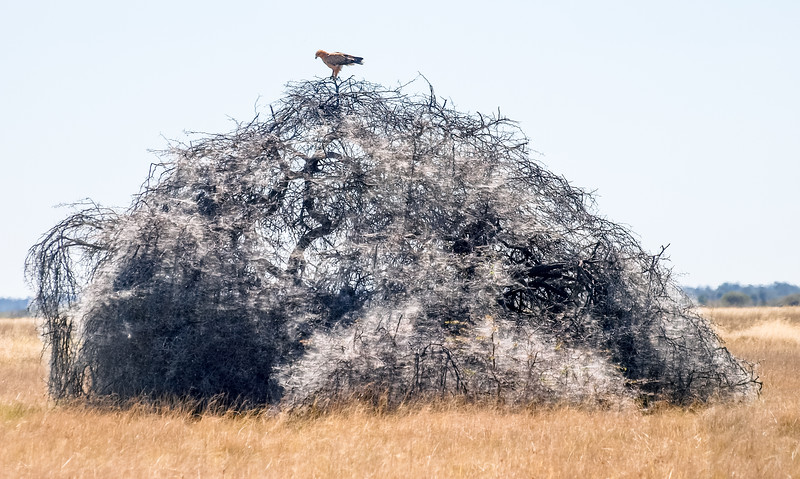 Eagle over a tree full of spider net - Etosha National Park, Namibia