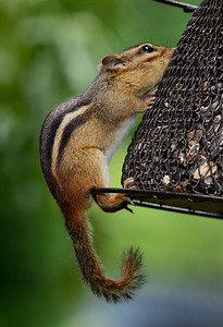 """Hangin' On"" Eastern Chipmunk"