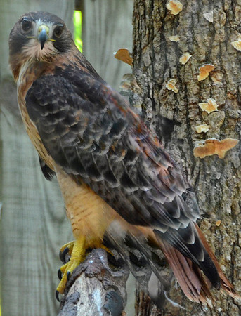 """Watchful Eye"" Red-tailed Hawk Raptor Center, NC"