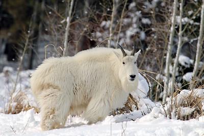 """Winter Goat"""